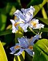 ზამბახი იაპონური Iris japonica Orchid Iris (2).JPG