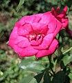 中國古老月季-軟香紅 Rosa chinensis 'Soft Fragrant Red' -深圳人民公園 Shenzhen Renmin Park, China- (27925592997).jpg