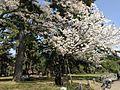 京都御所 - panoramio (1).jpg
