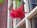 倒掛金鐘 Fuchsia Marinka -伯明翰 Brindley Place, Birmingham- (9204818355).jpg