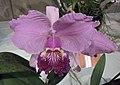 卡特蘭屬 Cattleya lueddemanniana -香港沙田國蘭展 Shatin Orchid Show, Hong Kong- (9198103517).jpg