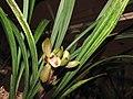 報歲虎斑 Cymbidium sinense 'Tiger Stripes' -香港沙田國蘭展 Shatin Orchid Show, Hong Kong- (12266948163).jpg