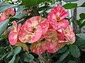 大花麒麟 Euphorbia x lomi -新加坡濱海灣花園 Gardens by the Bay, Singapore- (24270112803).jpg