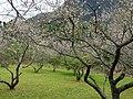 新生村梅園 Xinsheng Village Plum Garden - panoramio.jpg