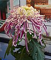 日本管物菊 Chrysanthemum morifolium Japanese-tubular-series -上海松江方塔園 Song Jiang, Shanghai- (9255190776).jpg
