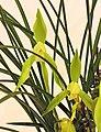 春蘭阿里山姑娘 Cymbidium goeringii 'Alishan Lass' -台南國際蘭展 Taiwan International Orchid Show- (40858646961).jpg