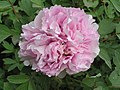 牡丹-勝葛巾 Paeonia suffruticosa 'Excelling Hemp-Kerchief' -洛陽西苑公園 Luoyang, China- (12427941843).jpg