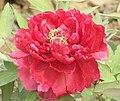 牡丹-旭日東升 Paeonia suffruticosa 'Sun Rising' -洛陽王城公園 Luoyang, China- (12452318743).jpg