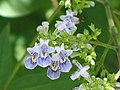 牡荊 Vitex negundo v cannabifolia -香港龍虎山 Lung Fu Shan, Hong Kong- (14067551413).jpg