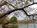 甘棠湖の辺に植えた桜.jpg