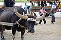 由布島の水牛は精神論で人を渡します (15957703301).jpg
