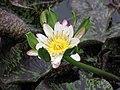 睡蓮-粉蟹爪 Nymphaea Nangkwaug -深圳洪湖公園 Shenzhen Honghu Park, China- (9237372877).jpg