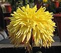 菊花-向陽 Chrysanthemum morifolium 'Sun Facing' -中山小欖菊花會 Xiaolan Chrysanthemum Show, China- (11961173345).jpg