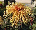 菊花-檀香鉤環 Chrysanthemum morifolium 'Sandalwood Hooked Rings' -中山小欖菊花會 Xiaolan Chrysanthemum Show, China- (11980298713).jpg
