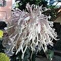 菊花-粉龍爪 Chrysanthemum morifolium 'Pink Dragon Claws' -香港圓玄學院 Hong Kong Yuen Yuen Institute- (12026333005).jpg