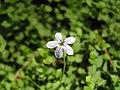 蘭星蔓草 Isotoma fluviatilis -阿姆斯特丹植物園 Hortus Botanicus, Amsterdam- (9198165905).jpg