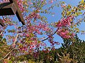 阿里山樱花 Alishan Cherry Blossoms - panoramio.jpg