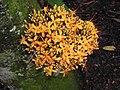 黃花無憂樹 Saraca cauliflora (Saraca thaipingensis) -新加坡植物園 Singapore Botanic Gardens- (9213339431).jpg