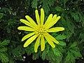 黃金菊 Euryops pectinatus -新加坡濱海灣花園 Gardens by the Bay, Singapore- (24928726671).jpg