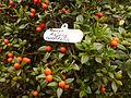 00514 - Alyxia ruscifolia.JPG
