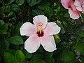 03601jfHibiscus rosa sinensis Philippinesfvf 14.JPG