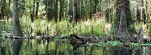 Lobelia cardinalis - Lobelia cardinalis on the bank of Ichetucknee River, Columbia Co., Florida.
