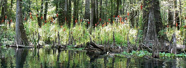 Cardinal flower in Chetucknee Springs State Park, Columbia Co., Florida USA