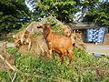 09409jfCattle goats grasslands Roads San Miguel, Bulacanfvf 06.jpg