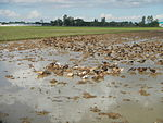 09461jfRoads Paddy fields Domesticated ducks Paligui Candaba Pampangafvf 27.JPG
