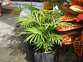 0998Ornamental plants in the Philippines 61.jpg