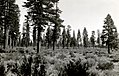 1927. Ponderosa pine timber stand on lava beds. Modoc National Forest, California. (38221514991).jpg