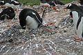 1 Pinguine auf Half Moon Island.jpg