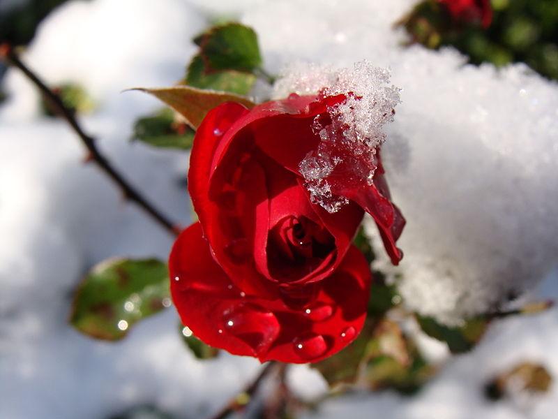 File:2007 rote Rose.JPG