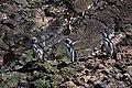 2008 Pinguins na Ilha de Chiloé - Chile - panoramio.jpg