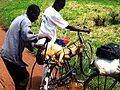 2008 goat on bicycle Uganda 2749789846.jpg
