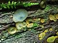 2011-08-24 Chlorencoelia versiformis 164418.jpg
