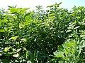 20110801Amaranthus retroflexus2.jpg