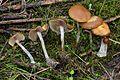 2012-12-05 Psilocybe cyanescens Wakef 290264.jpg