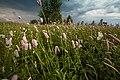 20120612 На южной стороне острова Юршинский. Полевые цветы.jpg