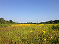 2014-08-27 16 09 24 A field filled with yellow flowers along the Meadow-Pond Trail in the Stony Brook-Millstone Watershed Association, New Jersey.JPG