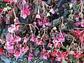2015-10-19 15 11 45 Frost-damaged begonias along Old Ox Road in Sterling, Virginia.jpg