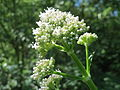20150617Valeriana officinalis1.jpg