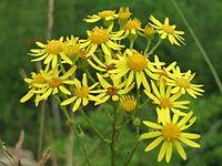 20150621Jacobaea vulgaris3.jpg