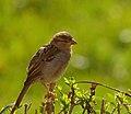 2016.08.27.-07-Mannheim Vogelstang--Haussperling-Weibchen.jpg