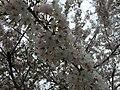2017-04-03 16 17 43 White Flowering Cherry flowers along Ladybank Lane near Ladybank Lane in the Chantilly Highlands section of Oak Hill, Fairfax County, Virginia.jpg