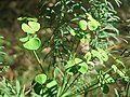 20170921Euphorbia cyparissias1.jpg