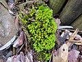 2018-01-12 (108) Unidentified Bryophytes (moss) in a garden at Haltgraben, Frankenfels.jpg
