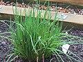 2018-04-10 Chive plant, (Allium schoenoprasum), Northrepps, Cromer.JPG