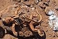 20180805-Galápagos land iguana (dead) at North Seymour (9226).jpg