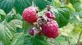 20190803 Rubus idaeus.jpg